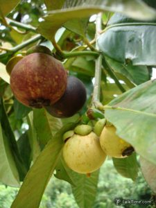 All stages of mangosteens ripening