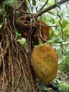 Jackfruit on a stem
