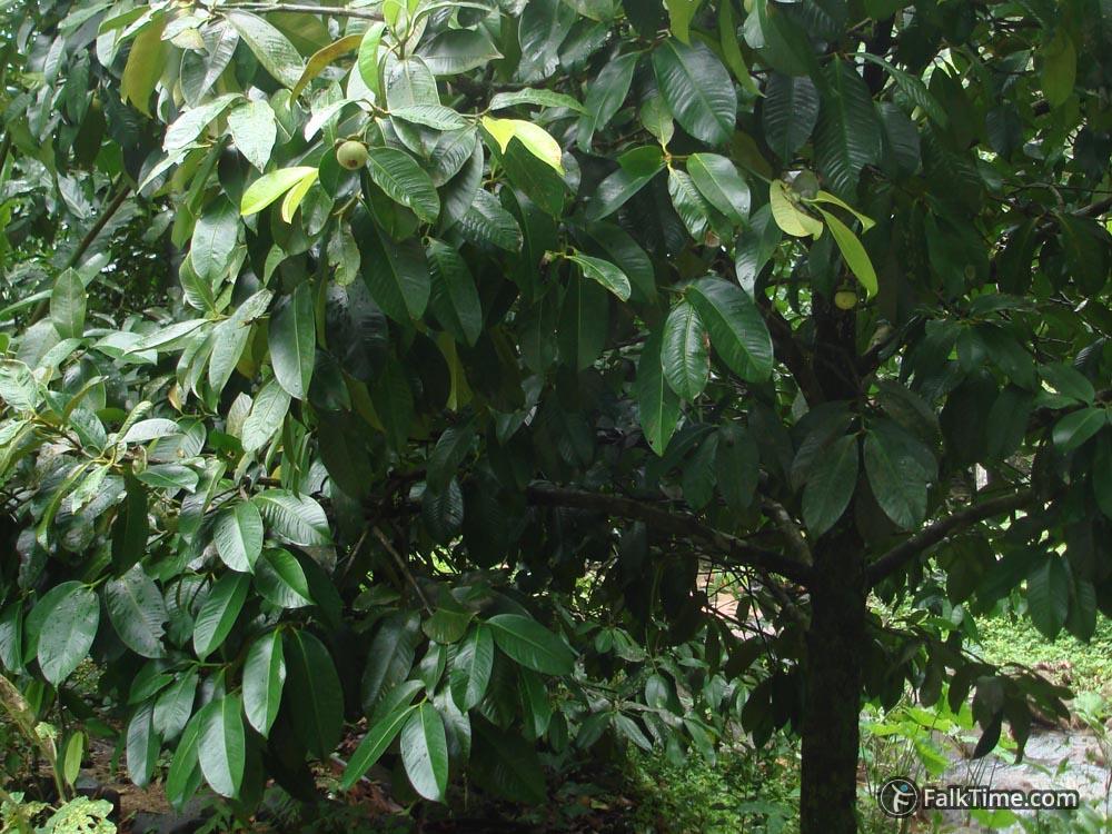 Mangosteen tree close up