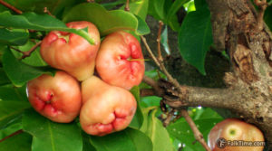 Malay rose apple