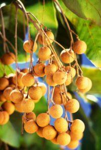 Longan fruit on branches