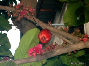 Different specie of rose apple