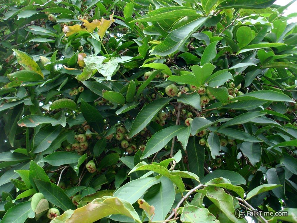 Many Malay rose apples
