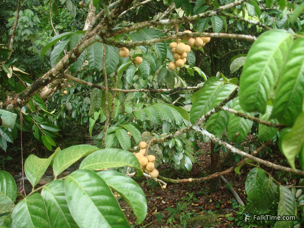 Longkong fruit on branches
