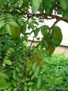 Star fruit on a tree
