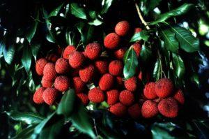 Thai lychees