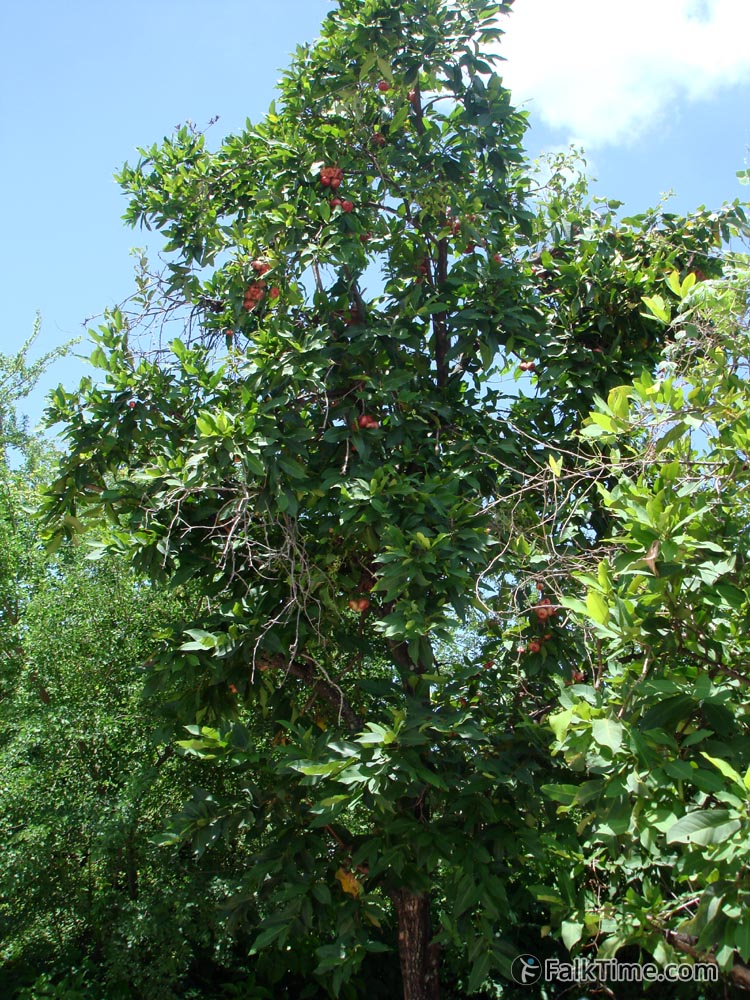 Malay rose apple tree