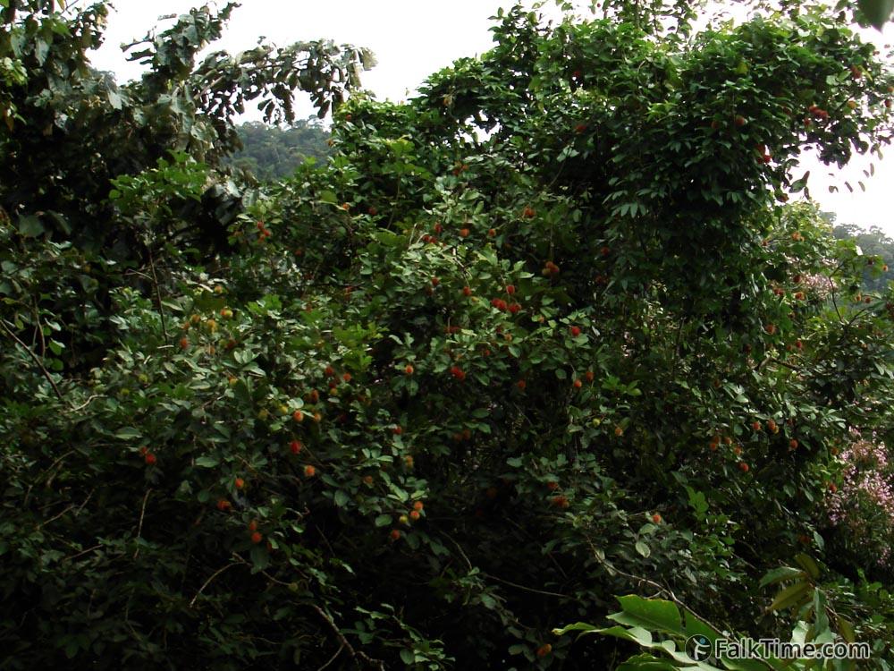 Rambutan fruit on tree