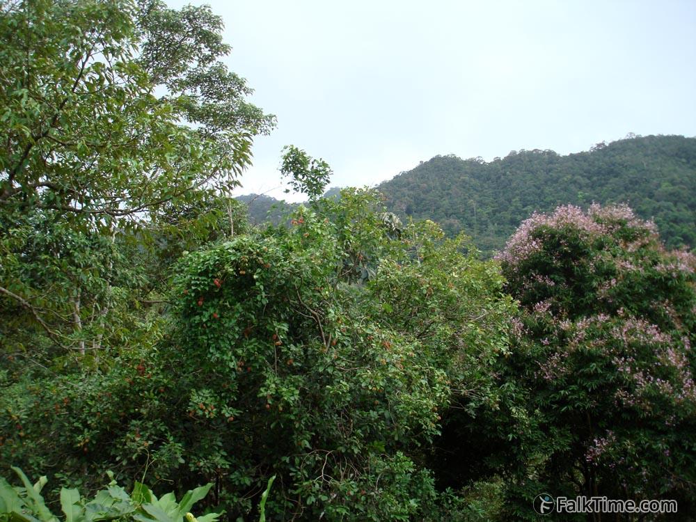 Rambutan tree, wild