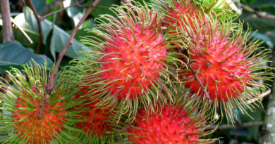 Rambutans on a branch