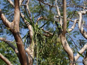 Wild dragon fruit tree