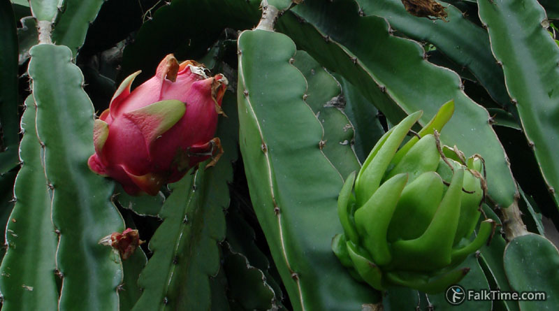 Ripe and unripe dragon fruit on a branch