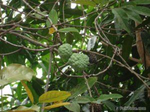 Sweetsops on tree