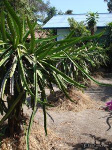 Dragon fruit field