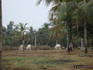 Cows on territory of wat Yan