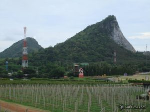 Grapes in Thailand: vineyard