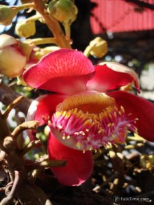 Couroupita guianensis flower