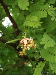 Tamarind flowers