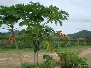 Papaya trees in Silverlake vineyard