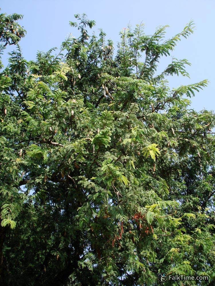 Tamarind tree with fruit
