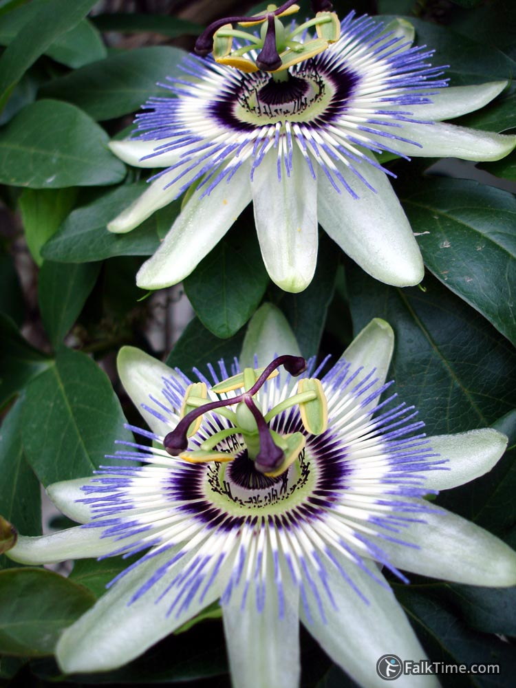 Passion fruit flowers