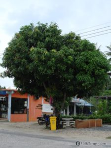 Marian plum tree