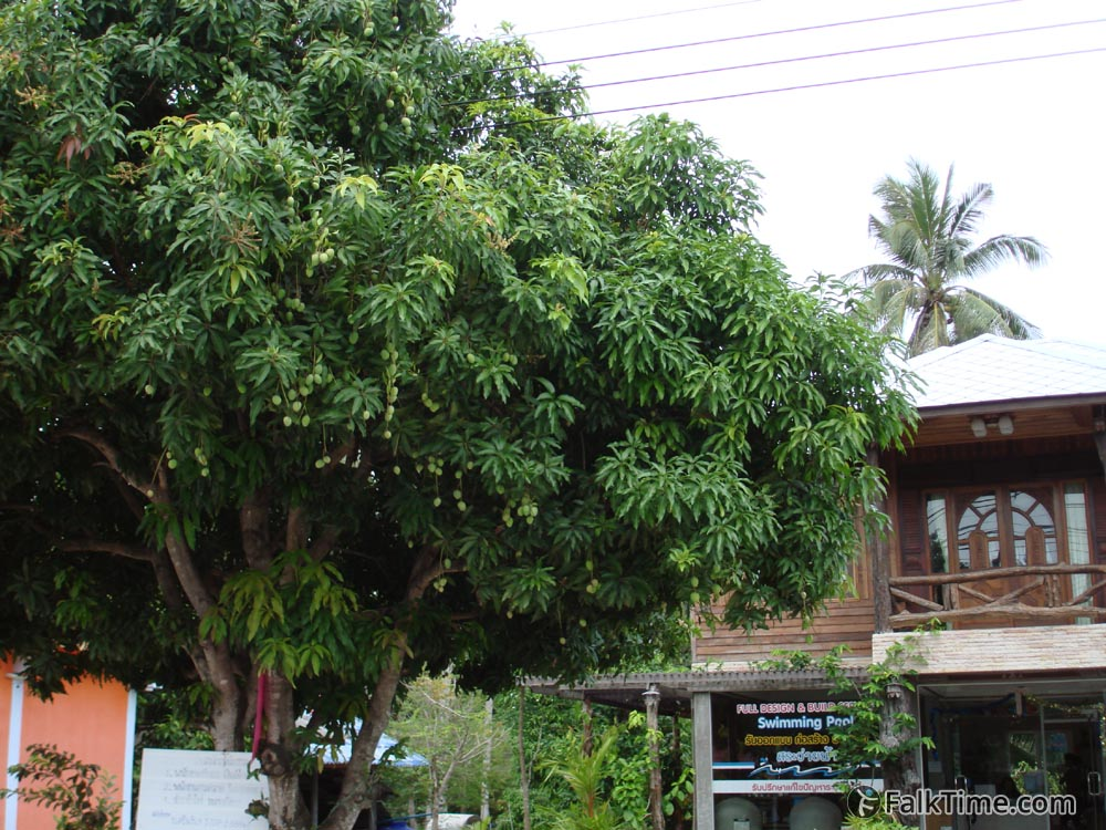 Plum mango tree