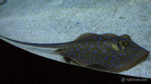 Bluespotted ribbontail ray