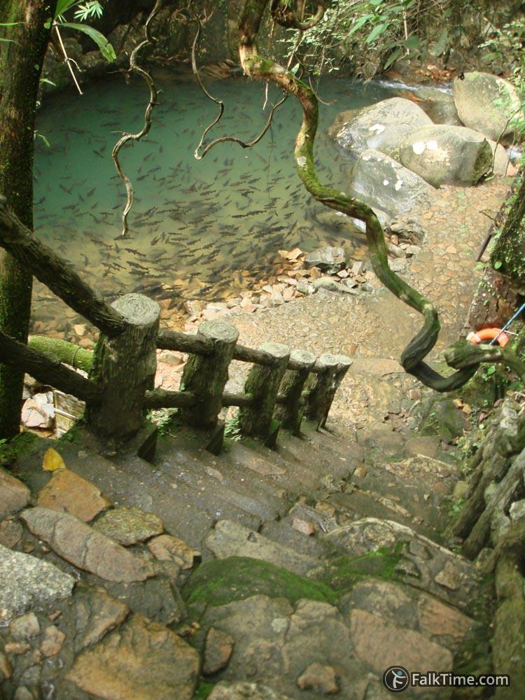 Brook carps in Phlio waterfall