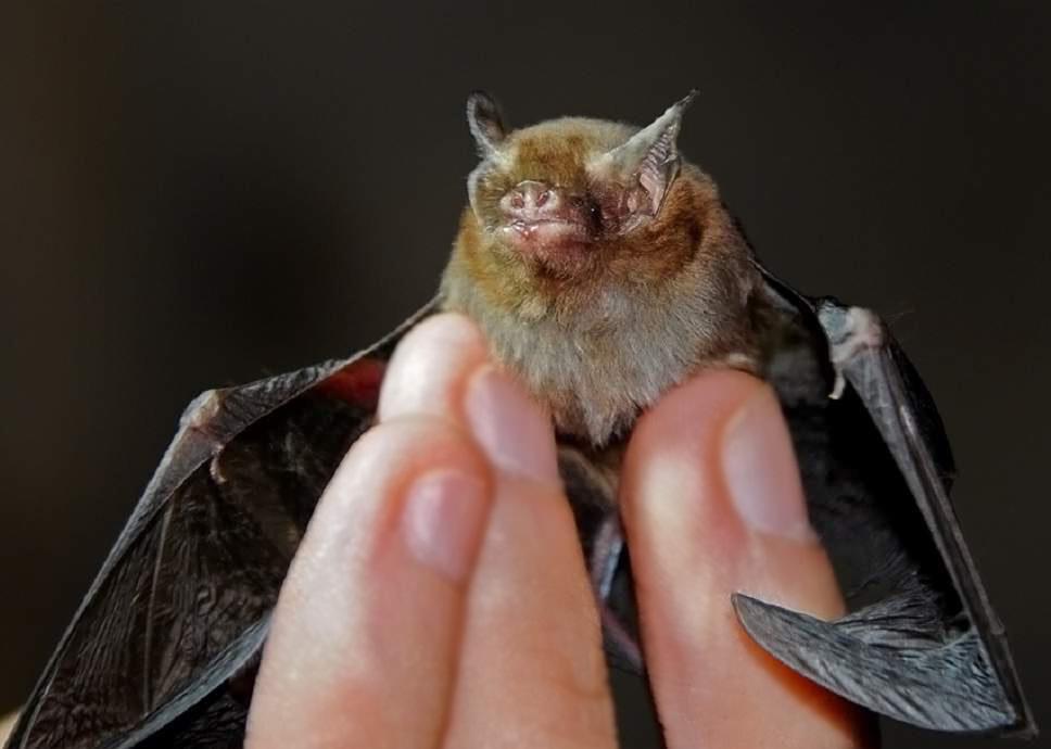 Hog-nosed bat