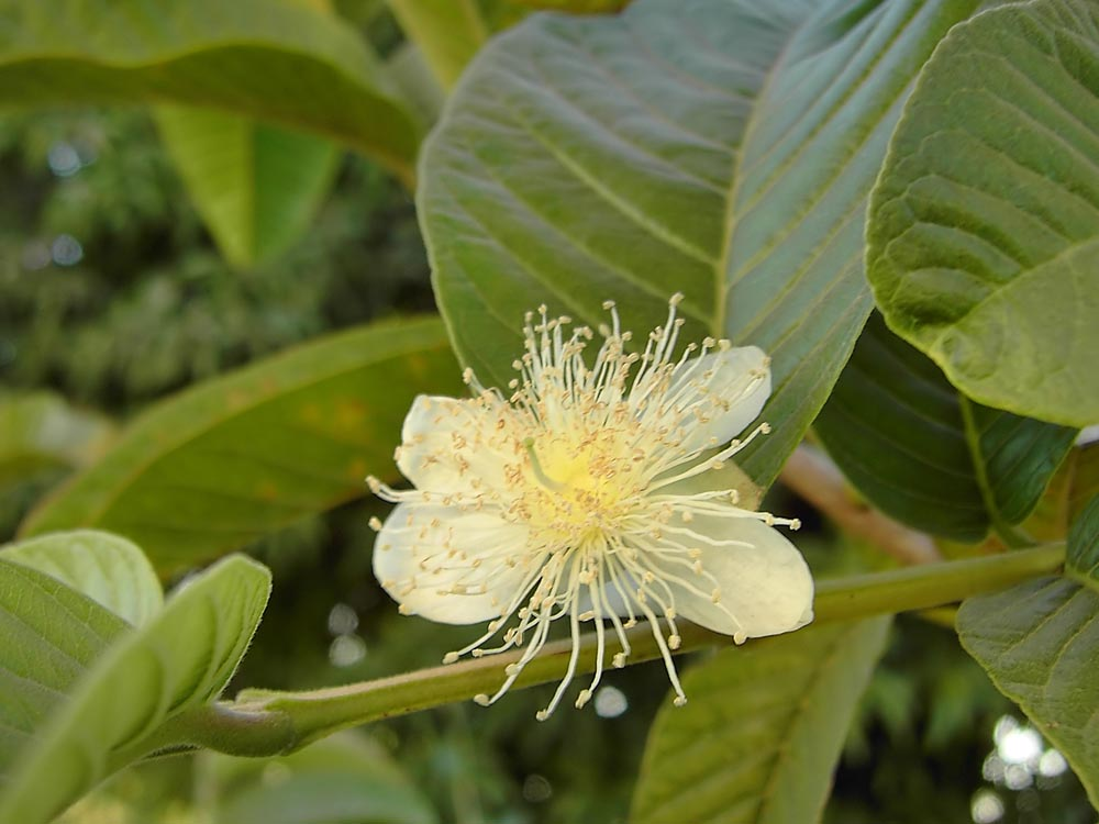 Flower of guava tree